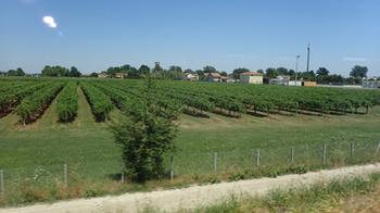 190630トスカーナのブドウ畑.jpg